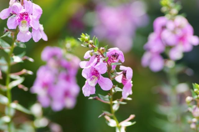 アンゲロ二アの花