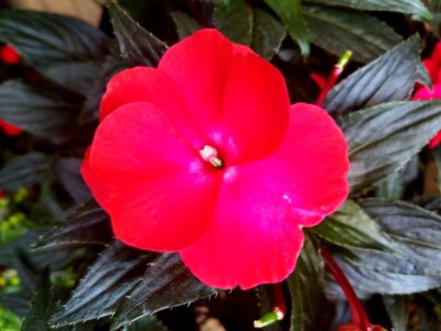 ニューギニアインパチェンスの赤い花