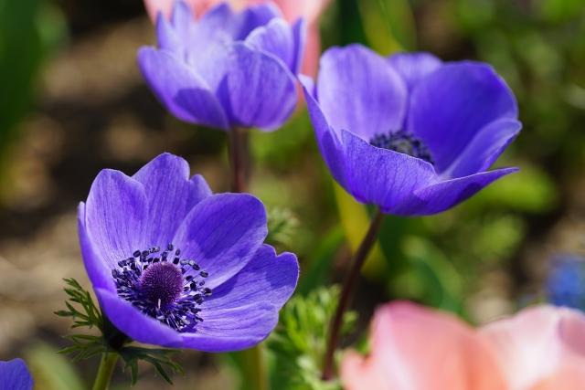 青いアネモネの花