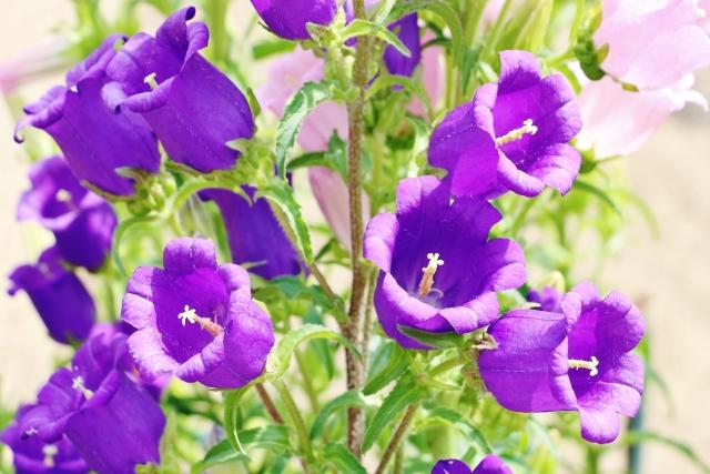 初夏に咲くカンパニュラの花