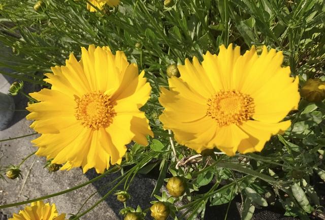 コレオプシスの花