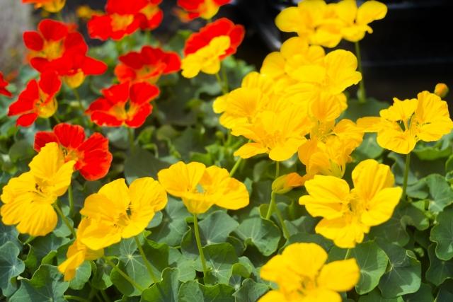 実も花も食べれるナスタチウム
