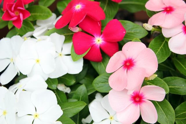 次々咲続けるニチニチソウ