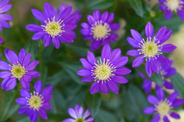 濃い青色の都ワスレの花