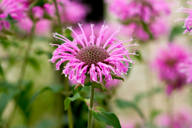 ベルガモット(モナルダ)の花たち