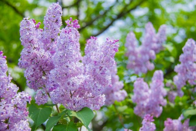 咲き乱れるライラックの花