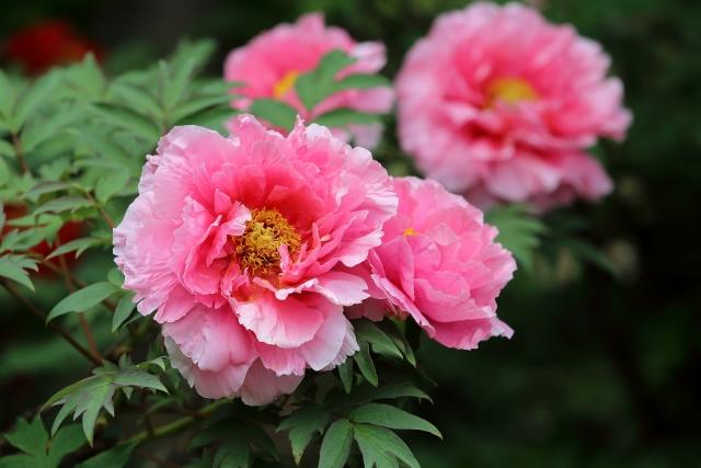 百花の王のボタンの花