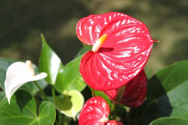 鮮やかなアンスリウムの花