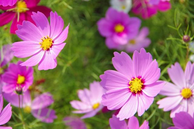 コスモスの特徴と育て方や花言葉