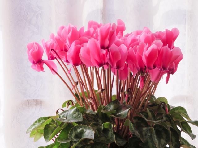 シクラメンの特徴と育て方や花言葉