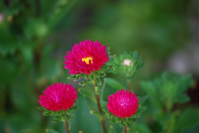 日が昇ると花開くデイジー
