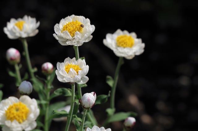 まるでドライフラワーのようなハナカンザシの花