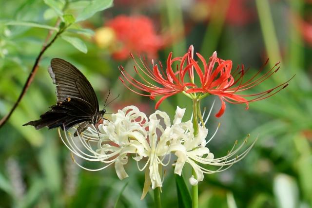 赤白の彼岸花と黒蝶