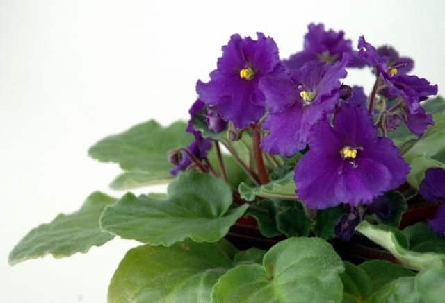セントポーリアの特徴と育て方や花言葉