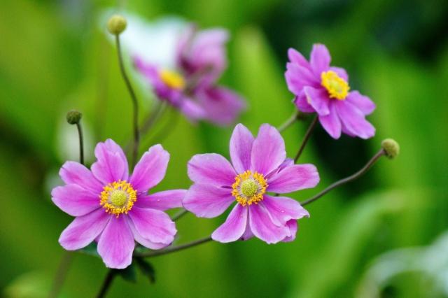 赤紫色のシュウメイギク