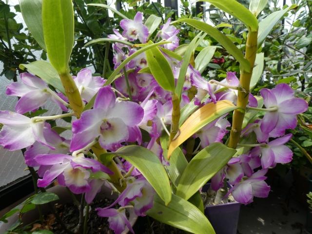 華やかなデンドロビウムの花