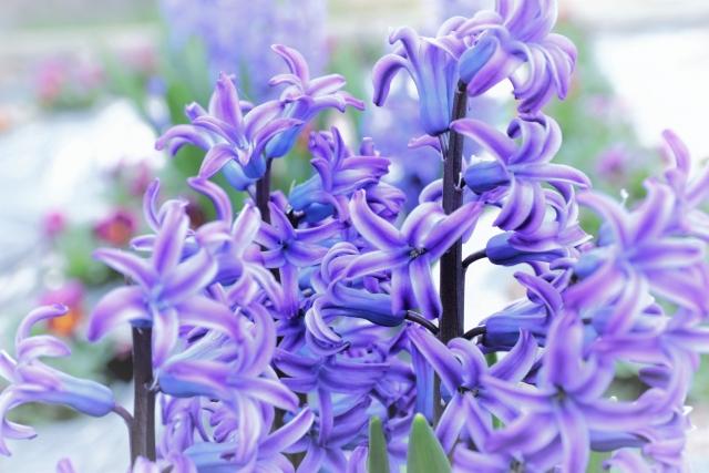 紫のヒヤシンス
