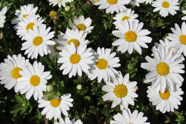 マーガレットの特徴と花言葉