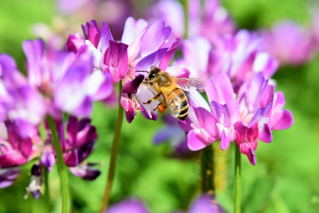 ミツバチとレンゲソウ
