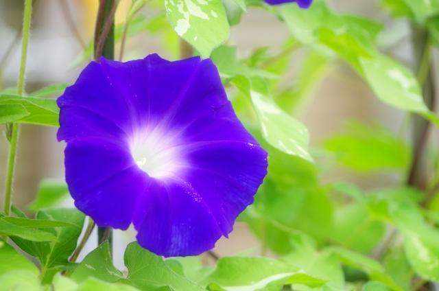 朝に咲くアサガオの花