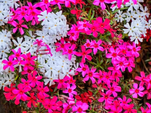 白とピンクのシバザクラ