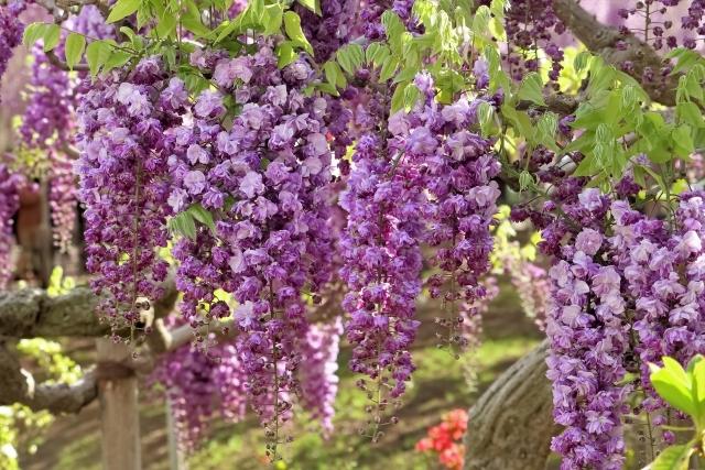 見事な紫藤