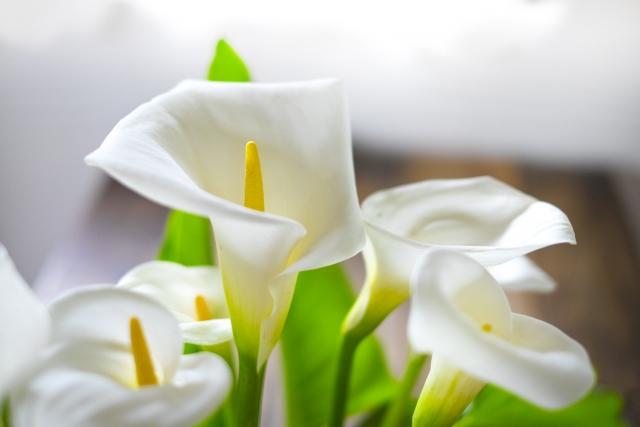 白いカラーの花