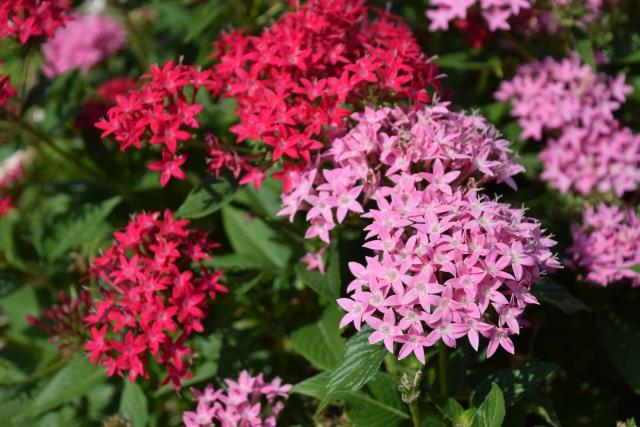 小さな星型のペンタスの花