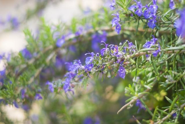 ローズマリーの可憐な花
