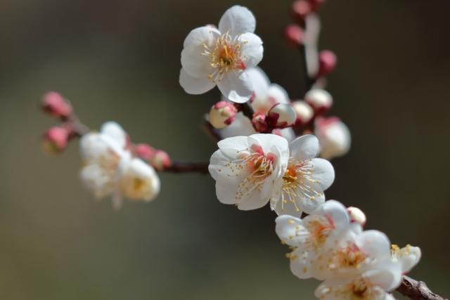 梅の特徴と花言葉誕生花