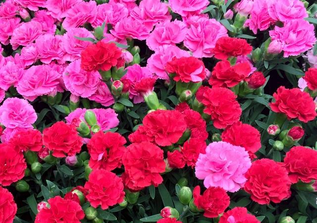 赤やピンクのカーネーション