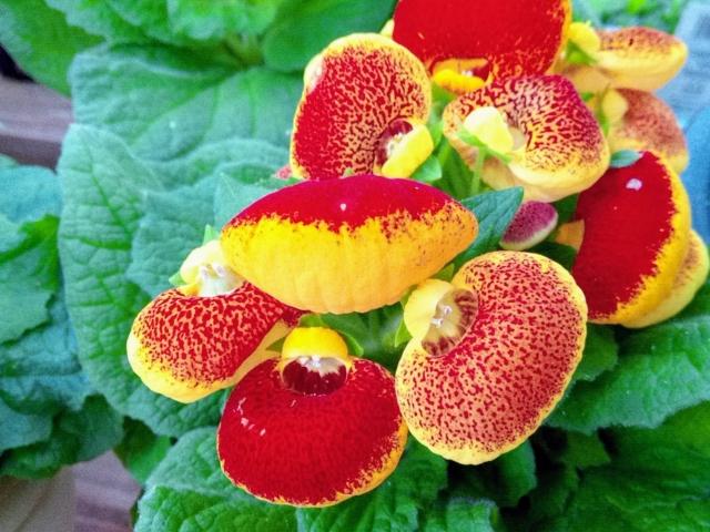 珍しいカルセオラリアの花