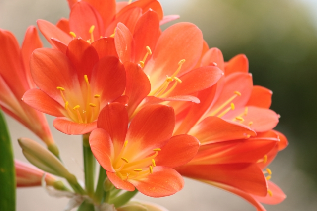 クンシランの特徴と花言葉
