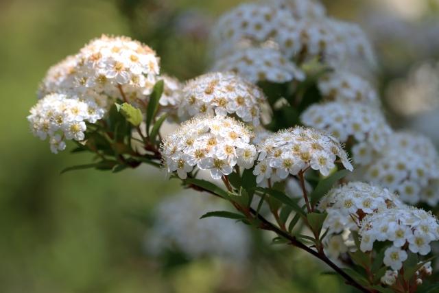 コデマリの特徴と花言葉