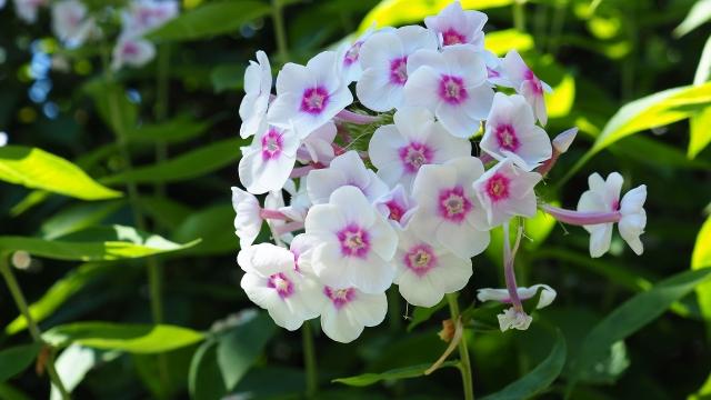 オイランソウ(宿根フロックス)の特徴と育て方や花言葉