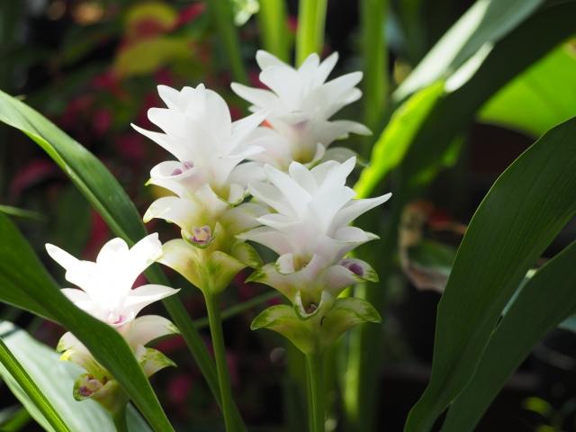 クルクマの特徴と育て方や花言葉