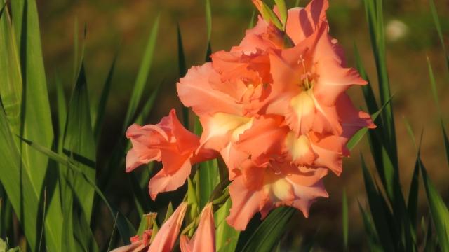 グラジオラスの特徴と育て方や花言葉