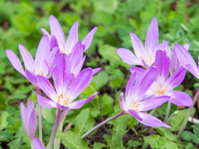 コルチカムの特徴と育て方や花言葉