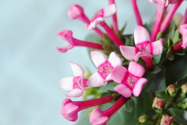 ブバルディアの特徴と育て方や花言葉