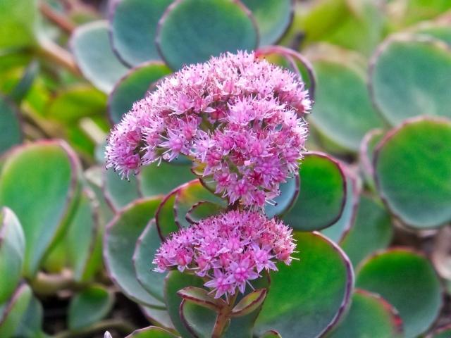 ミセバヤの特徴と育て方や花言葉 誕生花